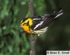 A Blackburnian Warbler is one of our targets for this trip