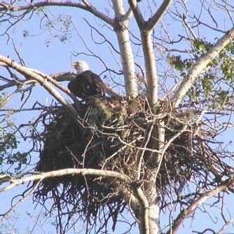 Eagle in a nest