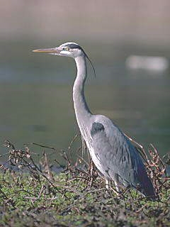 Great Blue Herons are often seen along our rivers and ponds.